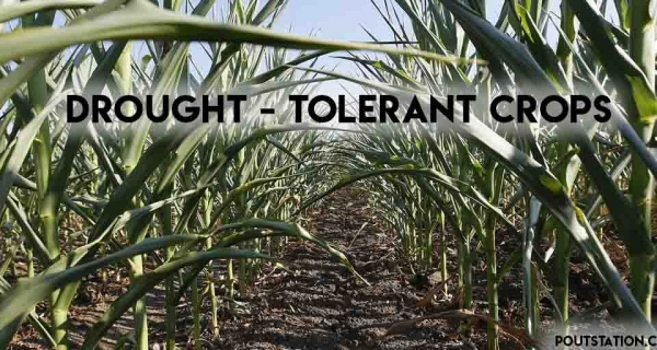 Drought Tolerant Crops - Everything  you need to know Image